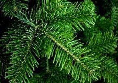Nordmannstanne als Weihnachtsbaum