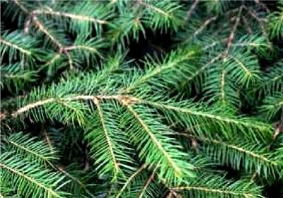 Rotfichte Christbaum