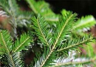 weisstanne-christbaum