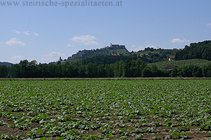 Kürbisacker mit Blick zur Riegersburg