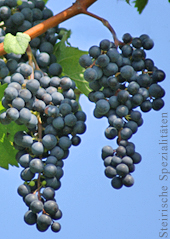 Blauer Zweigelt - Weintrauben