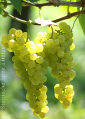 Muskateller - Weintrauben