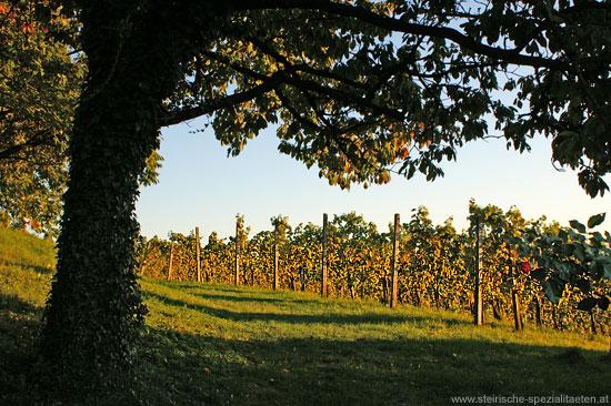 Sausaler Weinstrasse Weinreben