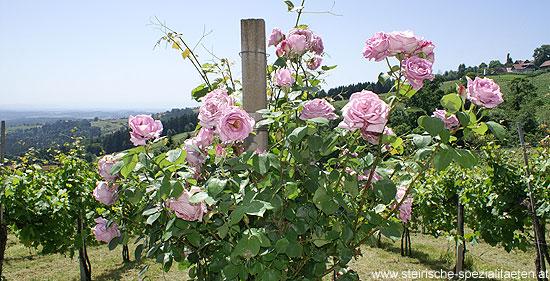 Rosen bei den Schilcher Weinreben
