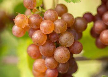 Gewürztraminer Weintrauben