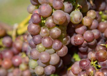 Grauburgunder Ruländer Weintrauben