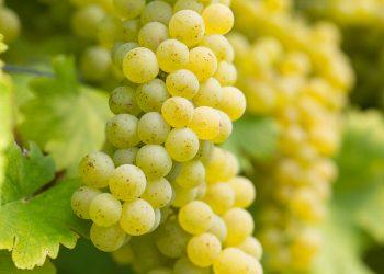 Sauvignon Blanc (Muskat-Sylvaner) Weintrauben