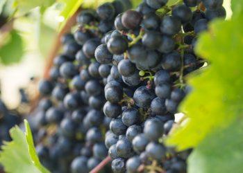 Schilcher (Blauer Wildbacher) Weinrebe