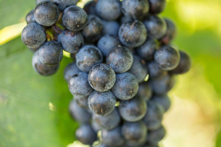 Zweigelt Weinrebe