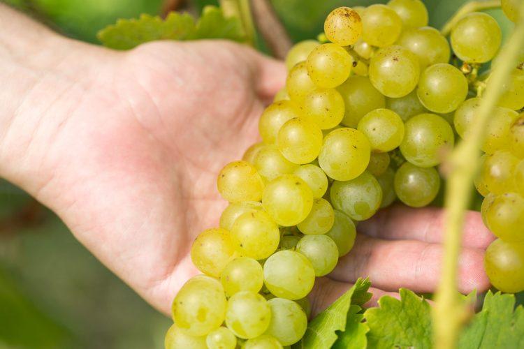 Gelber Muskateller Weintrauben