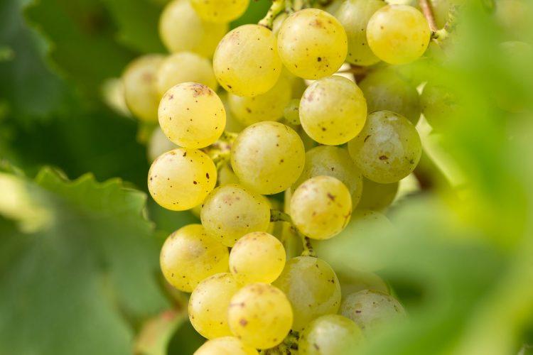 Grüner Sylvaner Weintrauben