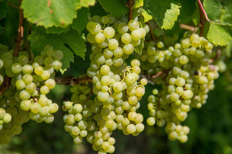 Rheinriesling Weintrauben