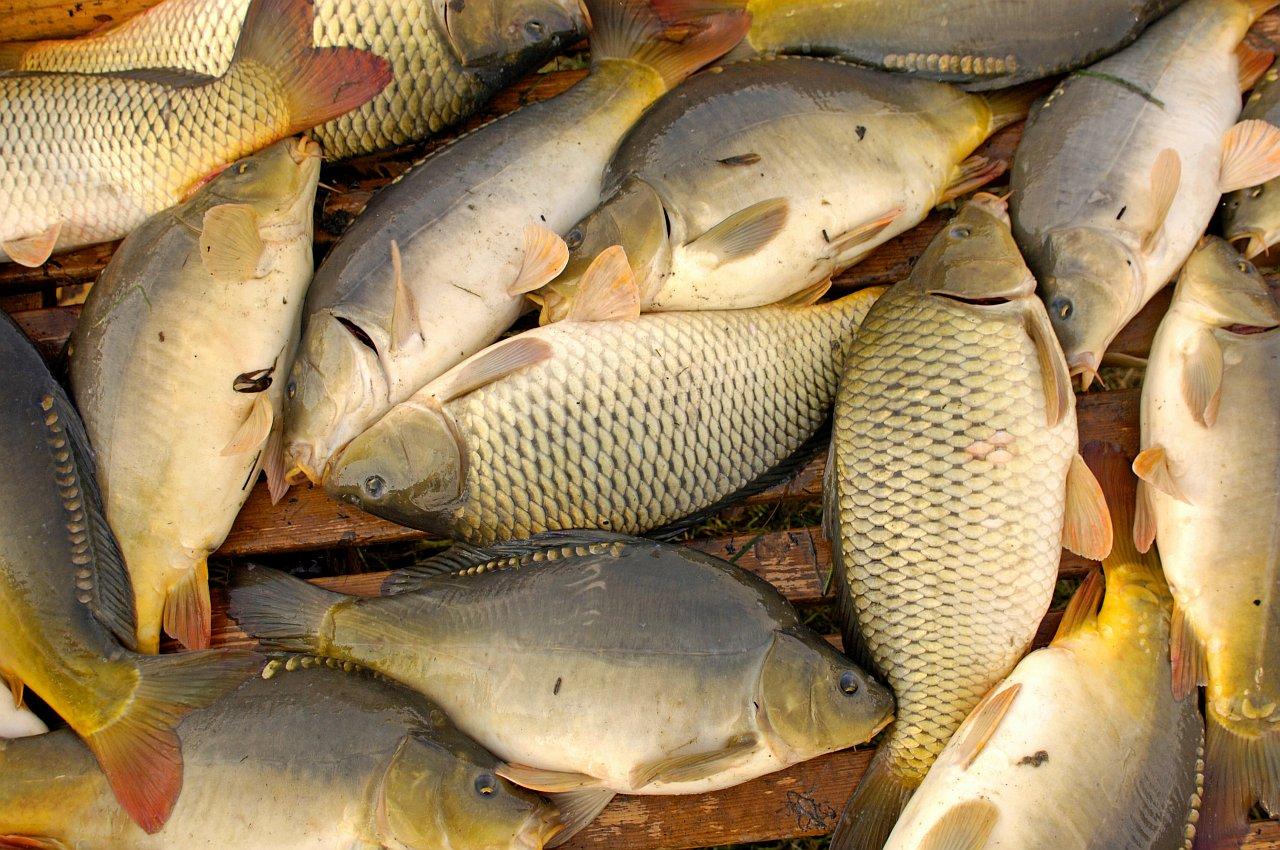 Steirisches teichland karpfen steirische spezialit ten for Fische in teichen