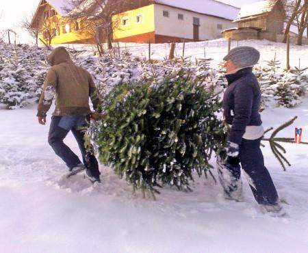 Beliebteste Weihnachtsbäume in Österreich