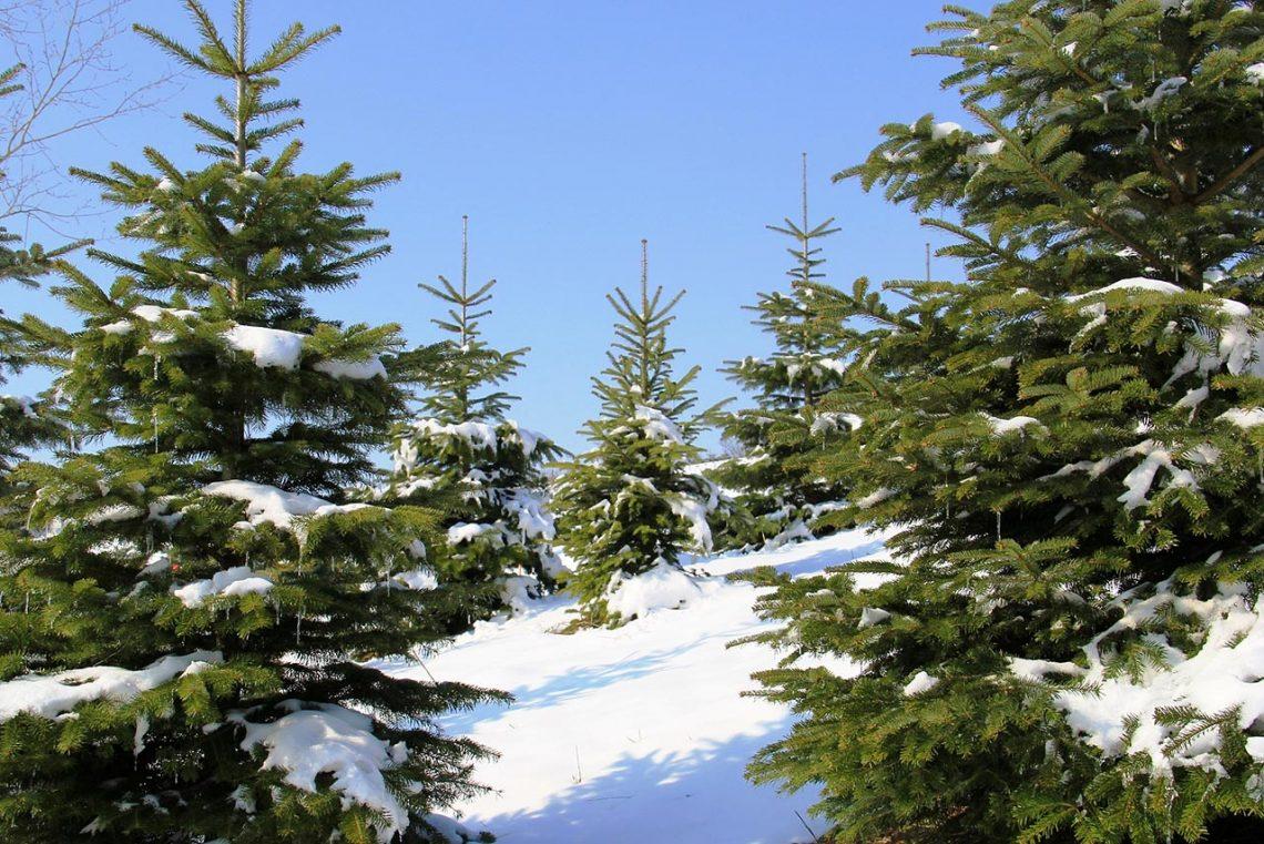 Christbaum aus der Heimat & Tipps zum Weihnachtsbaumkauf