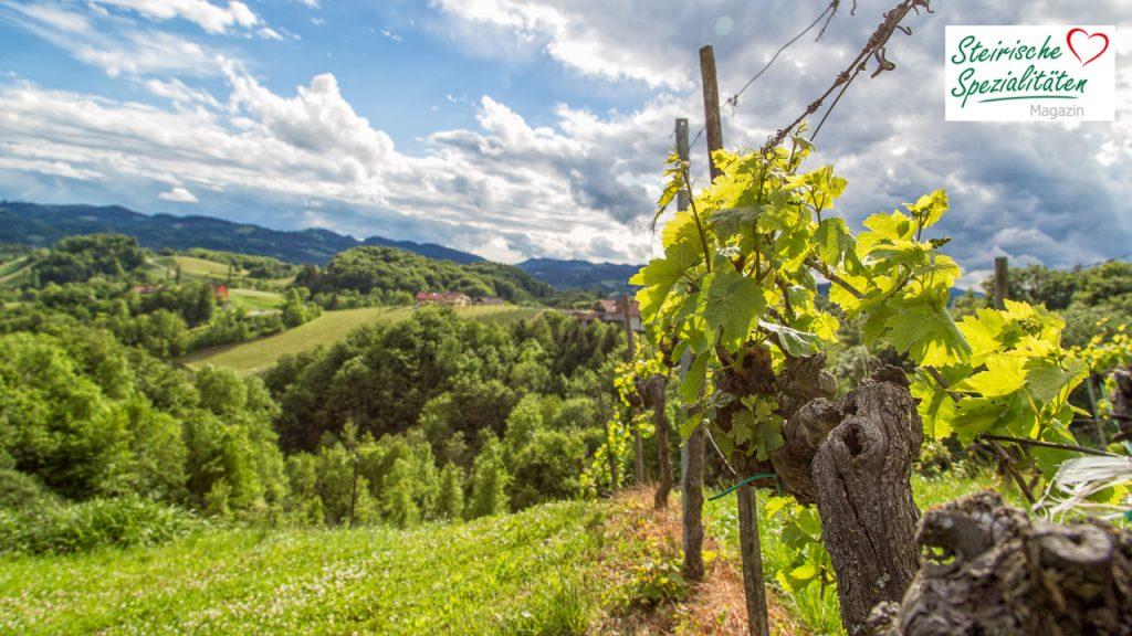 Weinrebe in der Steiermark