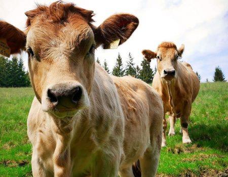 Murbodner Rind: Bereits Kaiser Franz Josef schätzte das ansprechend marmorierte Fleisch