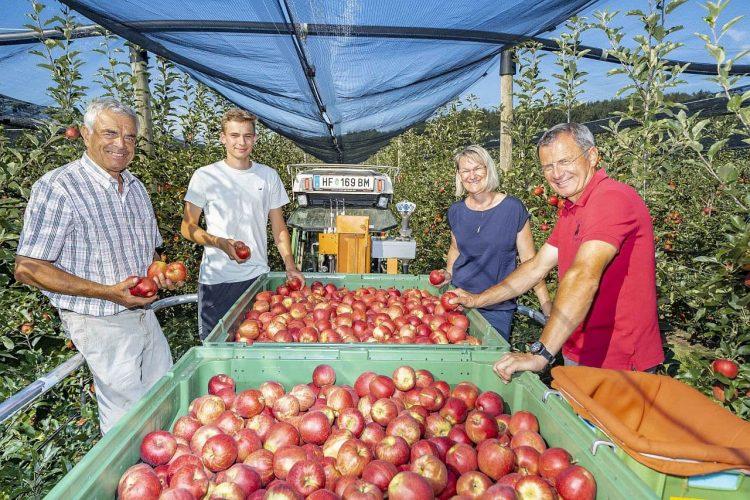 Steirische Apfelernte
