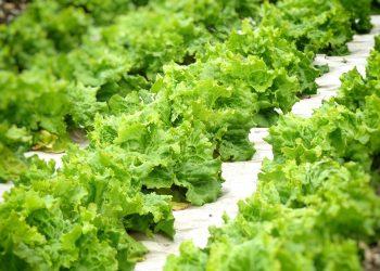 Grazer Krauthäuptel Salat am Feld